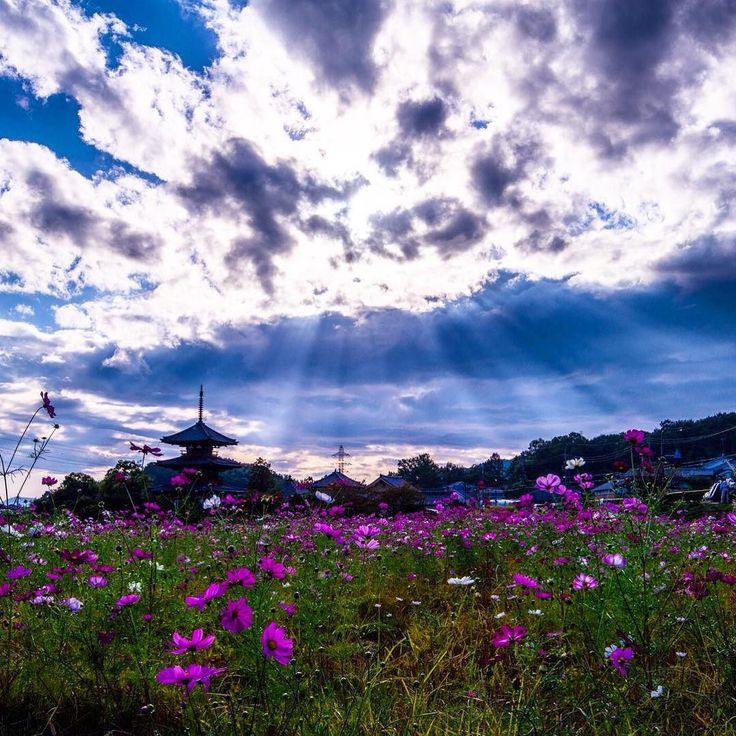 ラッキーなことに天使の梯子を見ることができた  #日本 #奈良 #斑鳩町 #斑鳩の里 #コスモス #秋桜 #法起寺 #三重塔 #国宝 #夕景 #d600 #nikon  #japan #nara #天使の梯子 by atsutoku