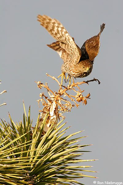 A juvenile Cooper's Hawk takes flight, Mojave Desert, California
