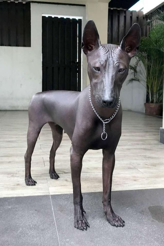 Rare Dog That Looks Like An Egyptian Statue Goes Viral Hairless Dog