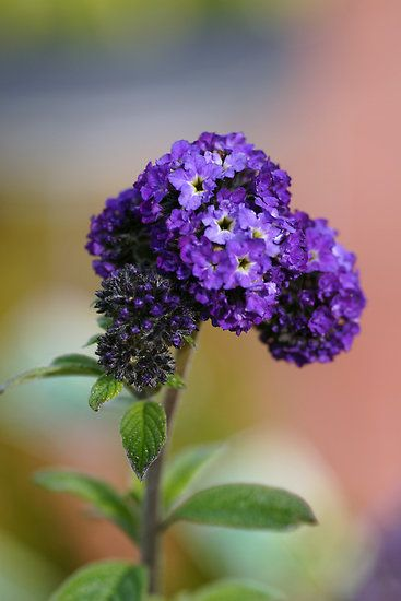 Heliotrope by Sharon House