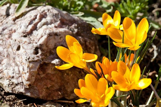 クロッカス花言葉,誕生花(色:紫,黄,白,青,赤)英語   花言葉-由来