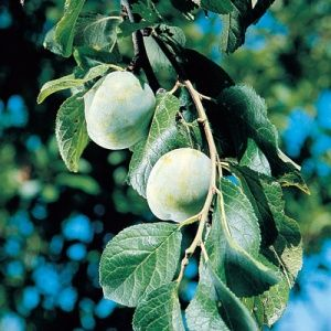 The standard for plum quality since the 17th century, Green Gage is one of a group of classic and highly prized European Plum varieties. Green Gage bears large crops of yellowish green, juicy, firm and tender, oval fruit . Very sweet and richly flavorful, Green Gage is great for fresh eating, baking, preserves, and canning.