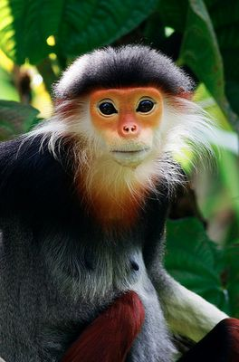 """This festively dressed monkey is called the Red-shanked Douc Langur, but is often called the """"costumed ape"""" for its extravagant appearance."""