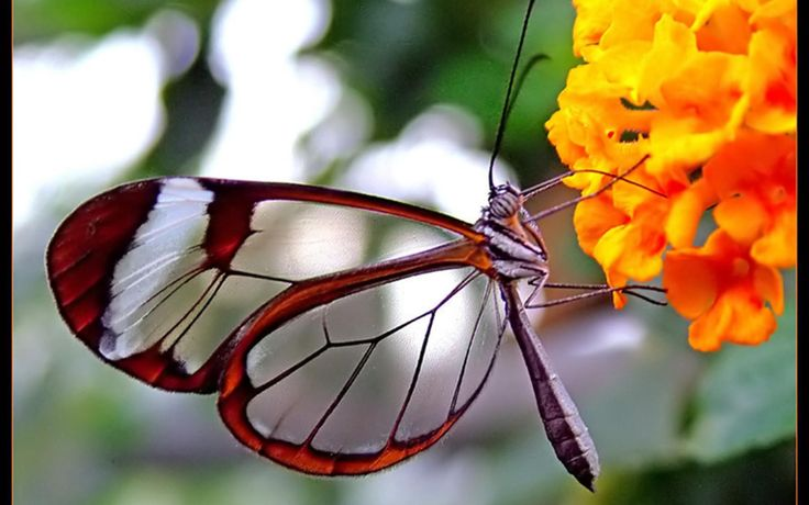 transparent-butterfly-and-orange-flower-wallpaper-530f6b25dc0c4