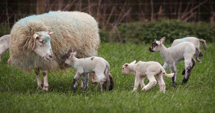 Sinais de vermes em ovelhas. As ovelhas da raça Icelandic são bovídeos de porte médio e estão entre as espécies mais antigas de ovelhas do mundo. Elas produzem lã e leite de excelente qualidade, sendo uma escolha popular entre criadores de ovelha. Como a maioria dos mamíferos, as ovelhas são suscetíveis a infestação por vermes. A maioria das infecções parasitárias causam ...