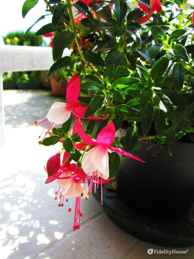 """Si chiama proprio così """"fucsia"""", esattamente come le tonalità che nei sui petali…"""