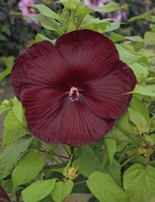 Heartthrob Hardy Hibiscus
