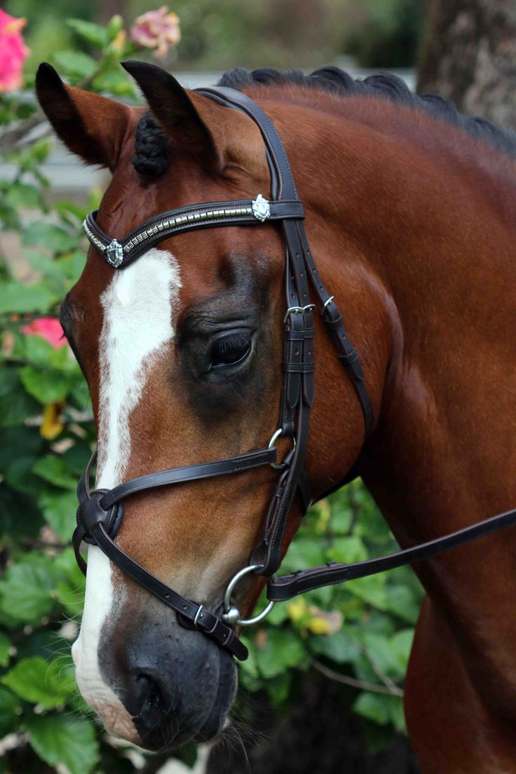 Flexi-Fit English Leather Mix & Match Gel Bridle in Dark Havana & Stainless Steel.  Stainless Steel Clincher V Shaped English Leather Flexi-Fit Gel Padded Browband With Shields & Grackle English Leather Flexi-Fit Gel Padded Noseband