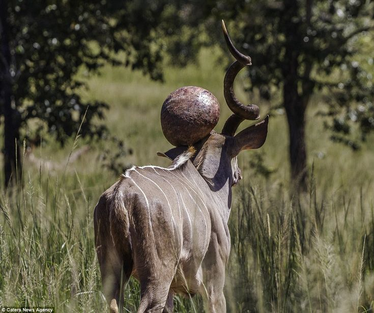 17 Best Images About Kudu On Pinterest