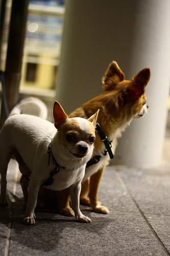 growing up in chihuahua How to care for your chihuahua puppy  over-exercise can be detrimental to growing puppies so encourage them to play and exercise as  pick up.