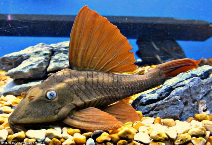 Top 25 ideas about pleco breading on pinterest caves Freshwater fish with red fins