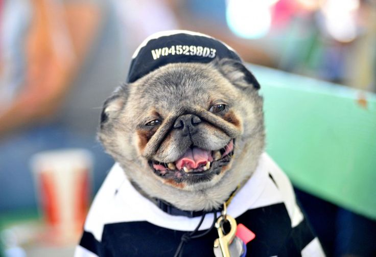 Grovie, a pug, is posed for a photo before the World's Ugliest Dog competition in Petaluma, Calif., on Friday, June 21, 2013. (Josh Edelson/AFP/Getty Images)