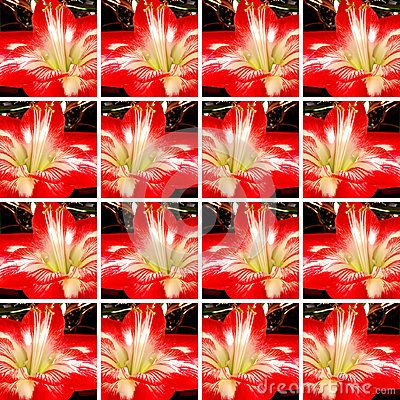 #Ornamental #background made of #square shapes filled with one #red and white #Amaryllis #flower