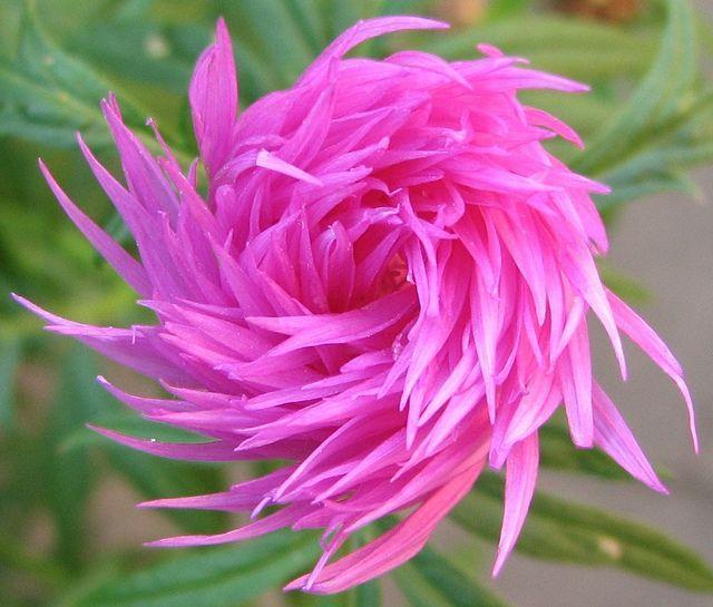Persian cornflower (Centaurea dealbata) flower bud...reminds me of the truffala trees in the Lorax!!!