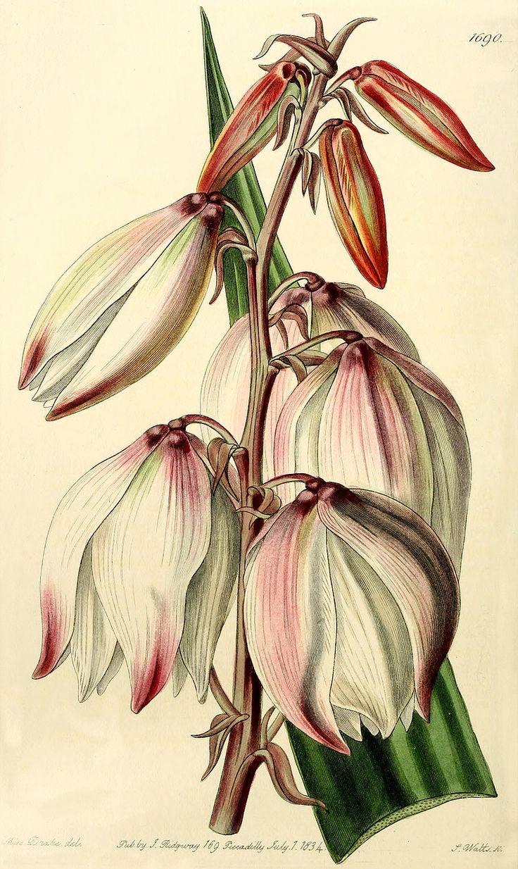 cf. Yucca gloriosa: as Yucca superba, Bot. Reg. 1690, 1835.