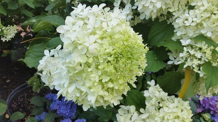 Les 25 meilleures id es de la cat gorie hydrangea - Quand couper les fleurs fanees des hortensias ...