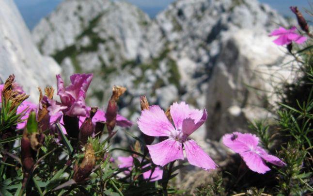 Plante rare din România: de la garofiţa Piatra Craiului la crinul de pădure şi mătrăgună