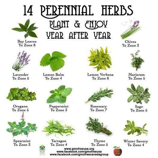 Perennial Herbs Chart Perrenial Herbs Plants Herbs