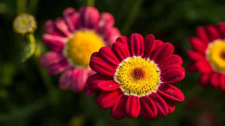 Red Daisy by 5 Elementals on 500px