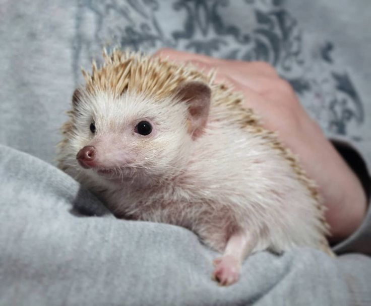 Animals Cute Cute Animals Hedgehog Hedgehog Hedgehogs Hedgehogs Are So Cute Cute Animals Hedgehog H Cute Animals Animals Beautiful Cute Hedgehog