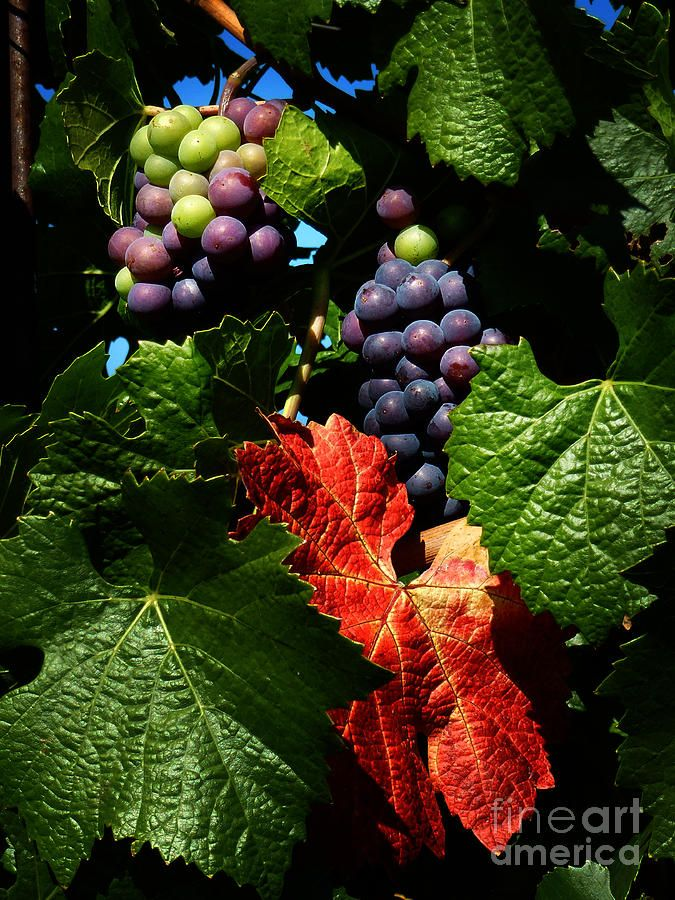 ✯ Vineyard