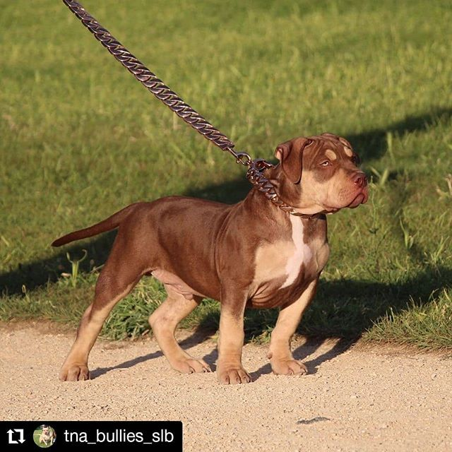 Repost Tna Bullies Slb Stand Out Slb Hugh Hefner Slb Tnabullies Hughhefner Uk Americanbully Bullybreed Bul Bully Breeds American Bully Dogs