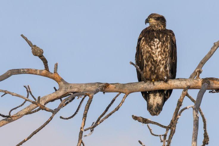 Immature Bald Eagle scanning Lee Metcalf National Wildlife Refuge Montana [3118x2079] [OC]