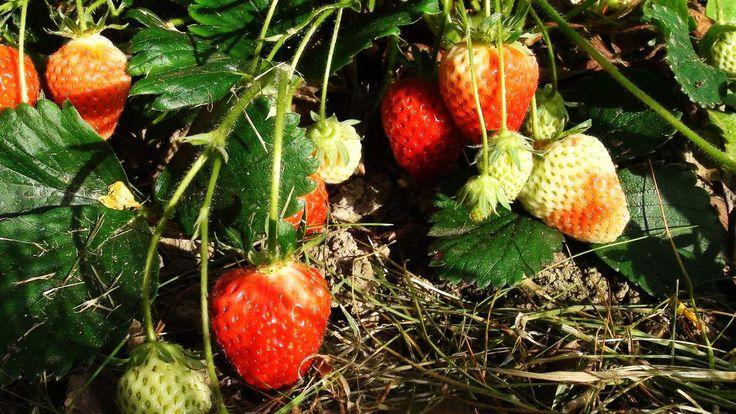 Les fraises en abondance Vous avez peu d'espace ? Vous aimez les fraises ? Essayez la pyramide aux fraises ... Récolter des centaines de fraises sur 1 m² c'est possible ... - Il vous suffit de quelques planches de récupération , - de 160 litres environ...