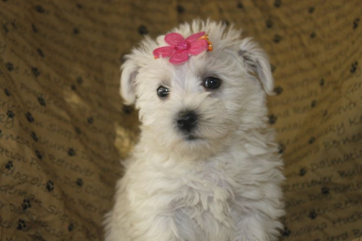 Female Bichon Frise Puppies - This is a female bichon frise puppy for sale in a litter at http://www.network34.com