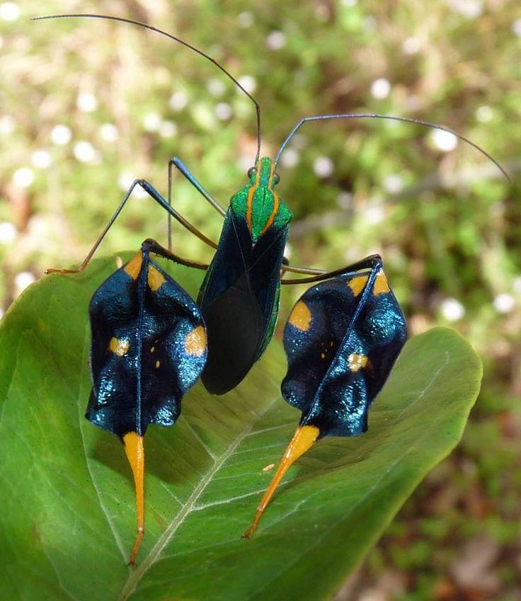 Diactor bilineatus (Anisoscelini) Amazonian leaf-footed bug