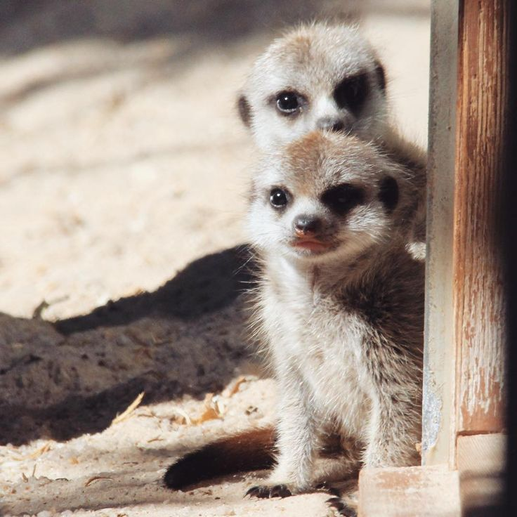 Our hearts are melting... Werribee Open Range Zoo has welcomed two Meerkat pups! The pups were born to experienced mum, Akili, on Saturday 11 March and the family are all doing well.