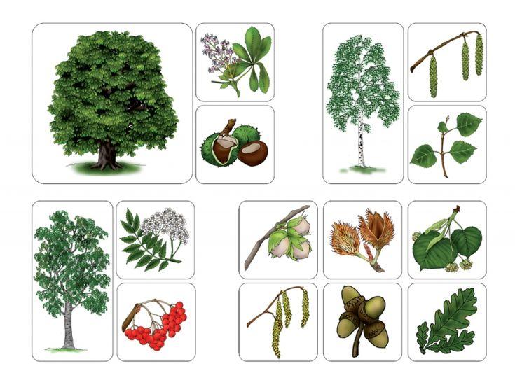 Výsledek obrázku pro listnaté stromy a jejich plody