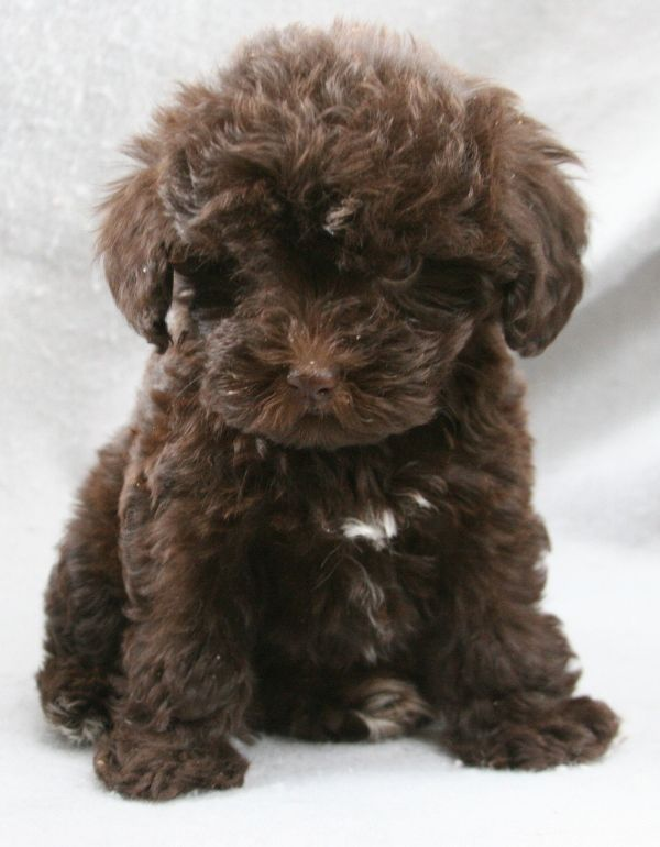 I want a schnoodle! And I want it to look like this. We will see in June.