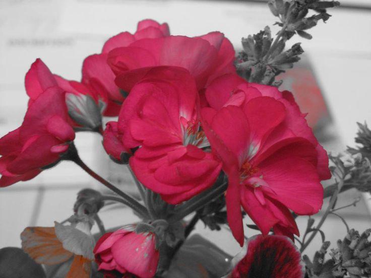 Géranium (noir & blanc - contraste rouge)