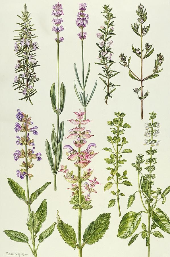 Rosemary And Other Herbs Painting by Elizabeth Rice