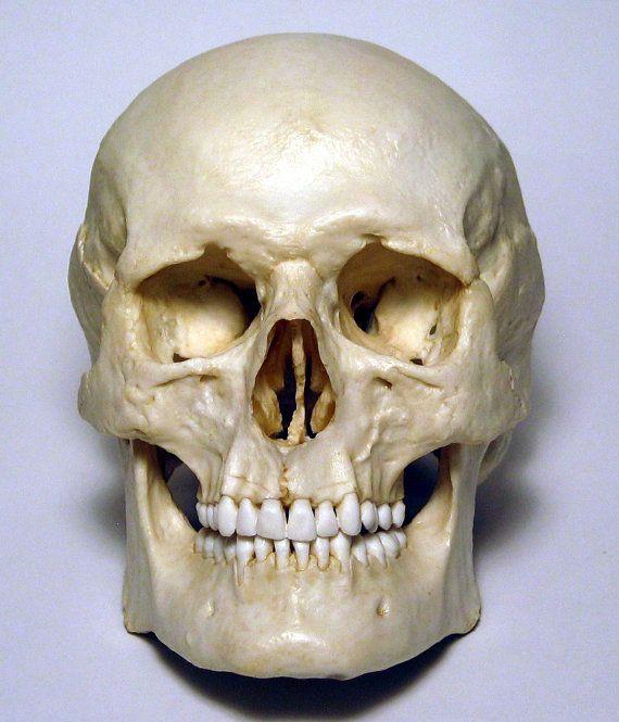 Картинка костей лица черепа