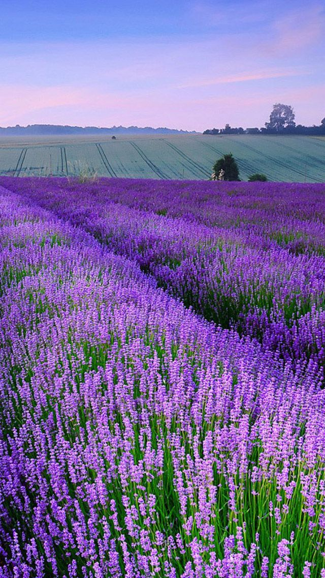 Take me there: Norfolk, England - Lavender is in bloom from the middle of June until the end of August: