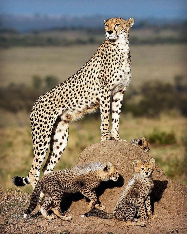 Виды гепардов картинки