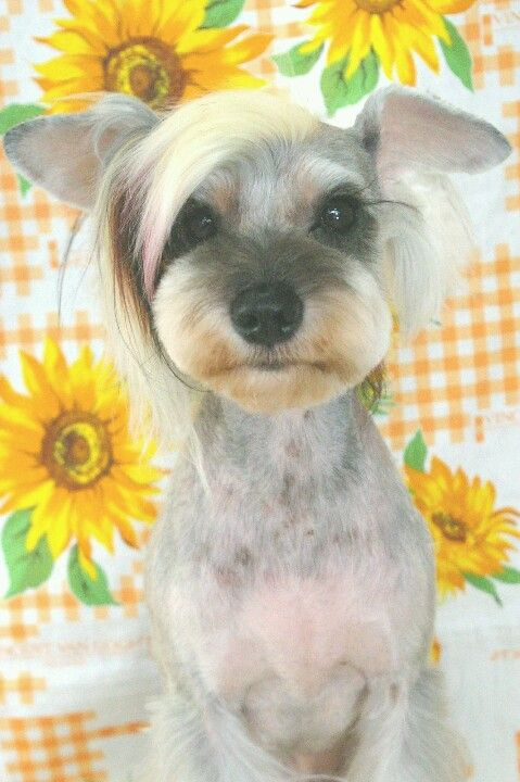 Schnauzer Cut On Yorkie Hairstylegalleries Com