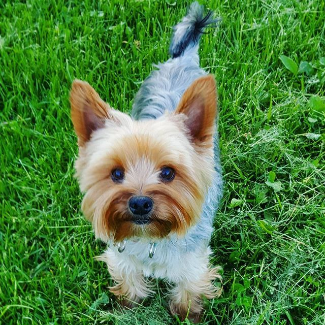 #rufus #yorkie #yorkshireterrier #dog #littledog #instayorkie #yorkiesofinstagram #furball #dogpics #dogphotography #cutie #dogstagram #yorkielove #yorkki #terrier #terrieri #yorkshirenterrieri #cutedog #helsinki #green #helsinki #finland #kulosaari