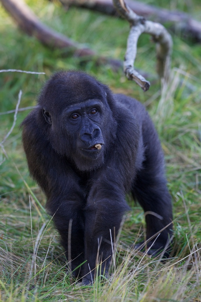 Lena, who is a fantastic mother with sharp maternal instincts, took Kafi under her wing indicating her approval to the other gorillas.