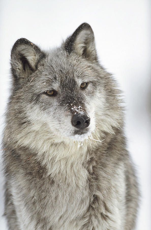 ☀Timber wolf by Tim Fitzharris           ....... <3 the inquisitive look.....