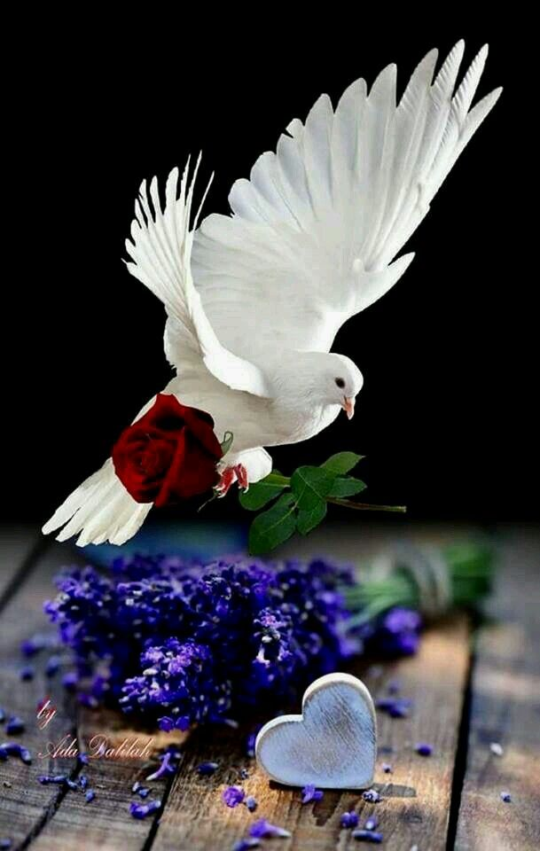 love of the white dove  ud83d udd4a ufe0f