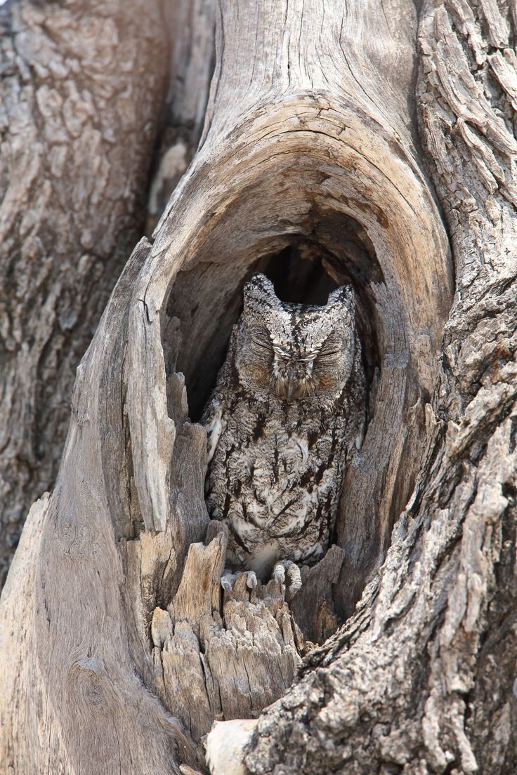 African Scops Owl © Jonathan Rossouw http://www.apex-expeditions.com/expedition/namibia/