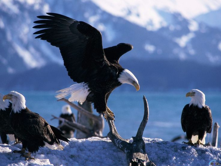 129 Best Aguilas Images On Pinterest Birds Of Prey Animals And