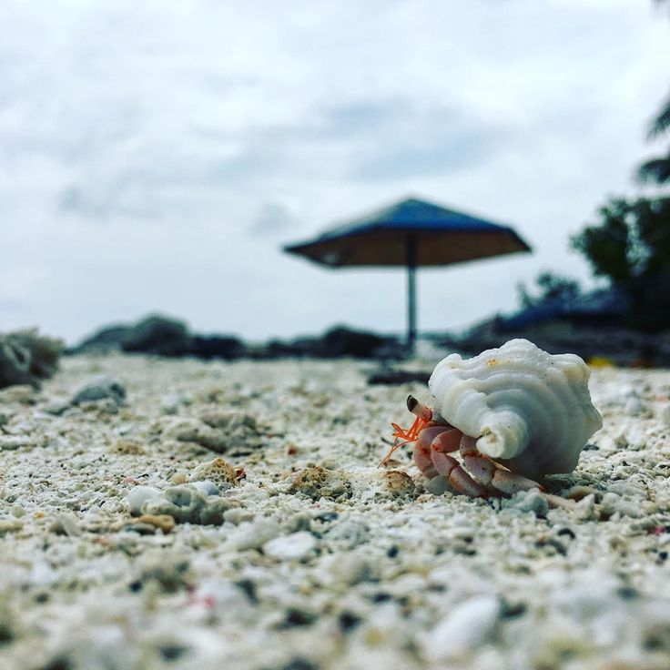 Where we go next trip. Life is journey. Life is live. Viva la vida. Nori. #sea #parasol #ヤドカリシリーズ #helmetcrab #crab #helmet #male #maldives #前回は宮古島でヤドカリショット