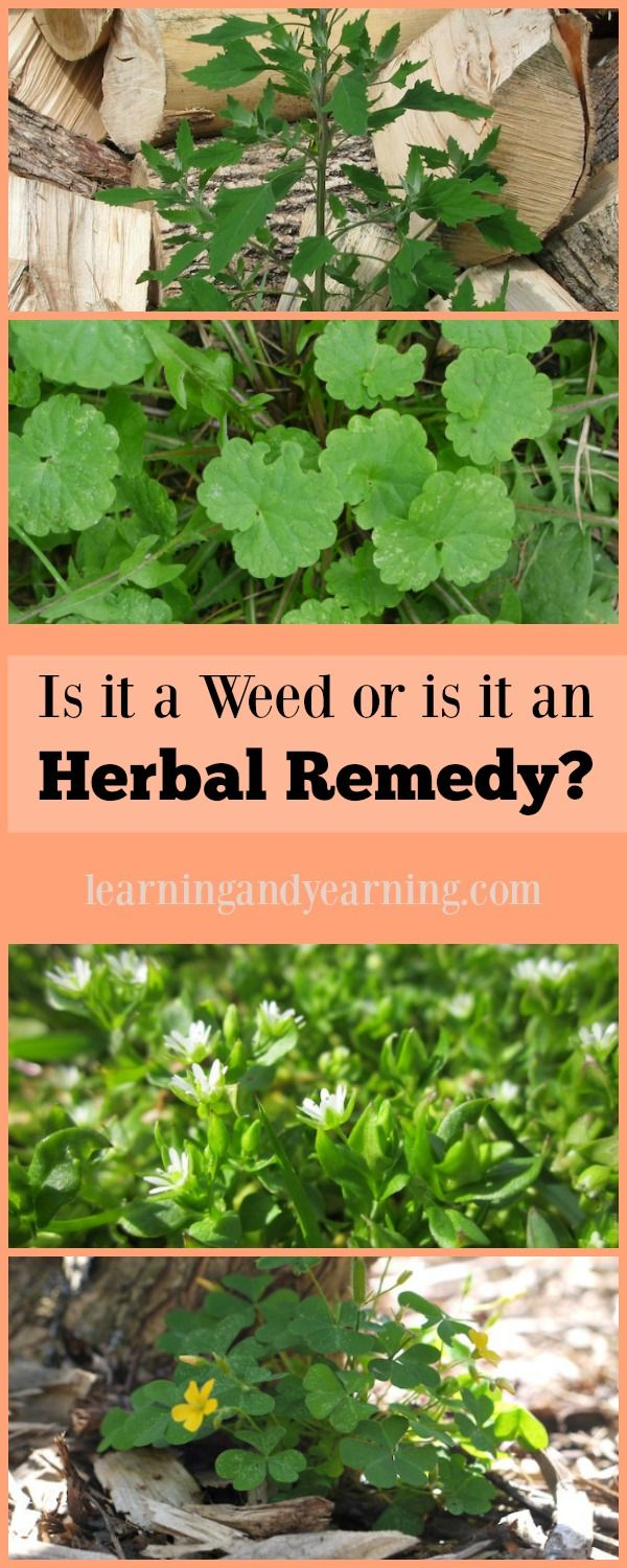 One of the benefits of using medicinal weeds from your own backyard is that you know how they are grown and that they are fresh.: