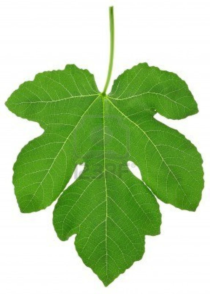 Fig leaf with clipping path Stock Photo - 8505221(http://www.123rf.com 2013)