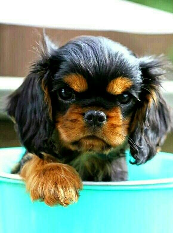 10 Best Ideas About Cavalier King Charles On Pinterest