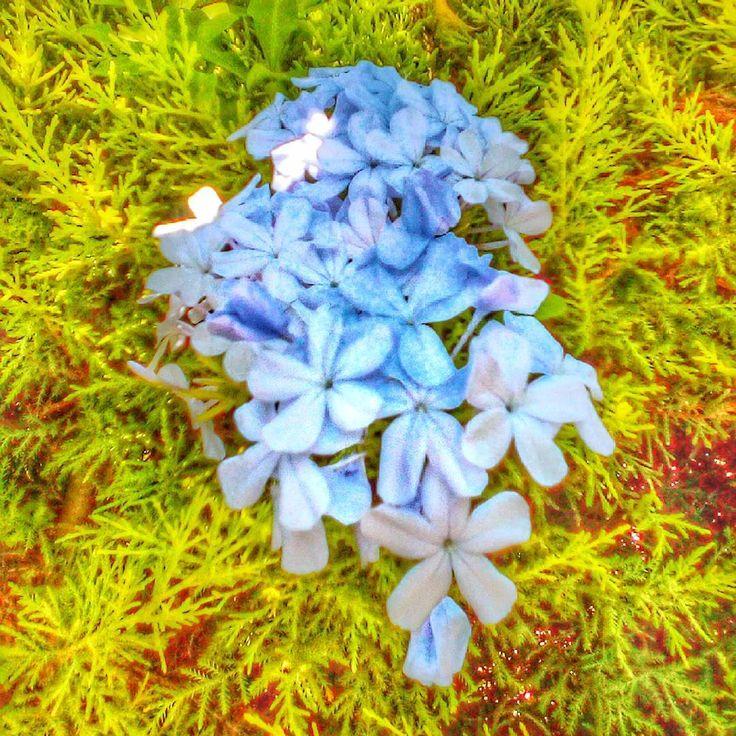 Bahçemizin mavi yasemini. Our blue Jasmine ���������� #bluejasmine #jasmine #garden #gardening #flowers #bahçe #bahçecilik #çiçek http://misstagram.com/ipost/1547019406290641849/?code=BV4HfQcluO5